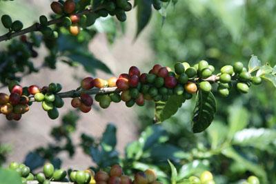 Reifestadien der Kaffeekirschen